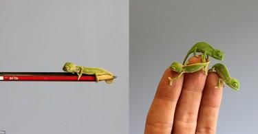 en-mini-bukalemunlar-forzamad